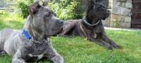 Anuncios de perros en Villa Nueva, Guatemala