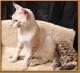 Sabana, serval y gatitos de Bengala disponibles